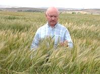 Российские ученые вывели пшеницу, укрепляющую иммунитет человека